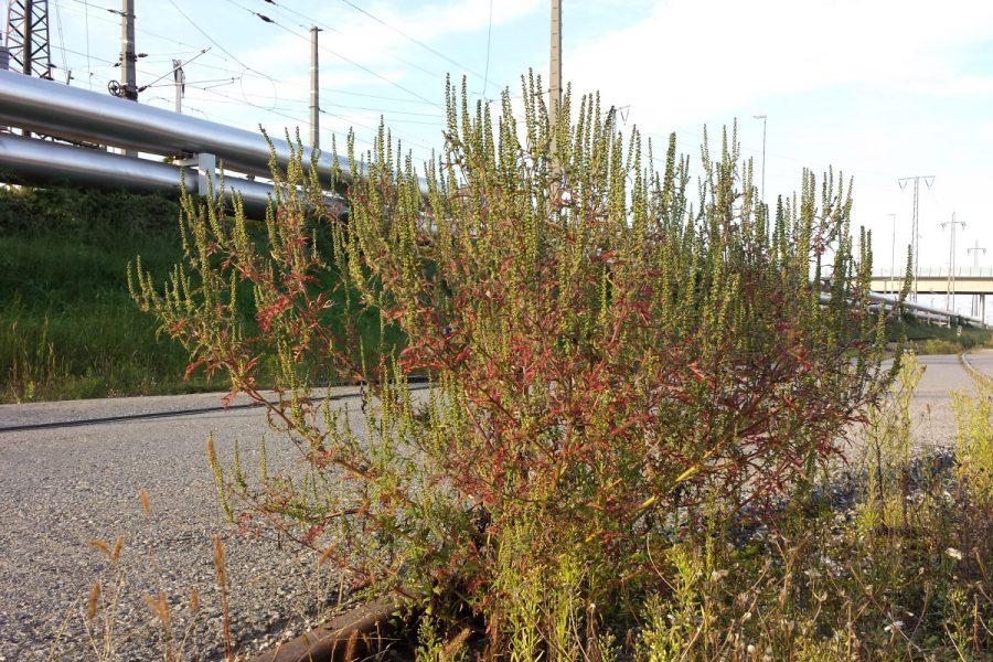 _Ambrosia_artemisiifolia_zhd_web