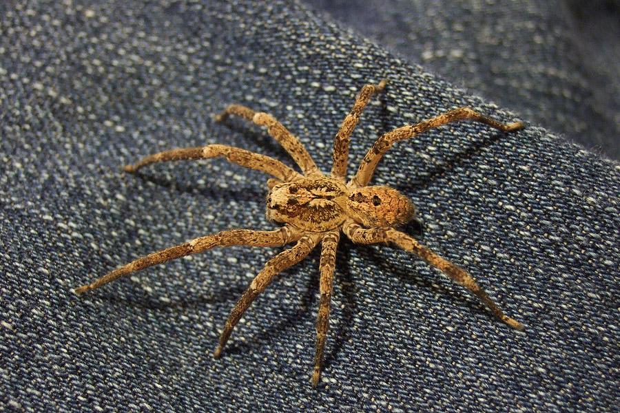 zoropsis_spinimana-web
