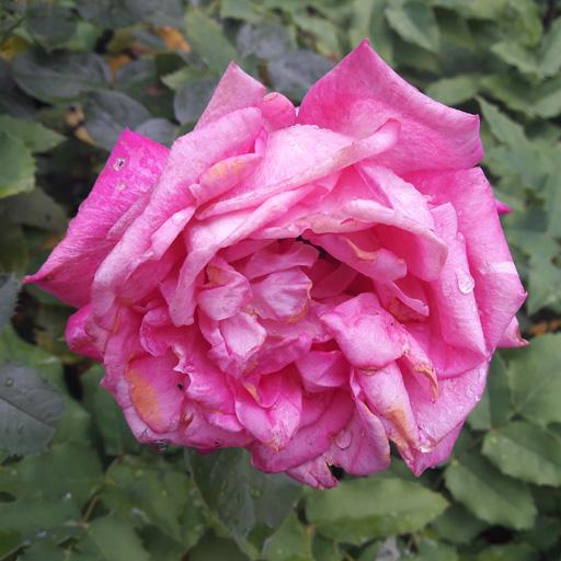 Rosa von Oz